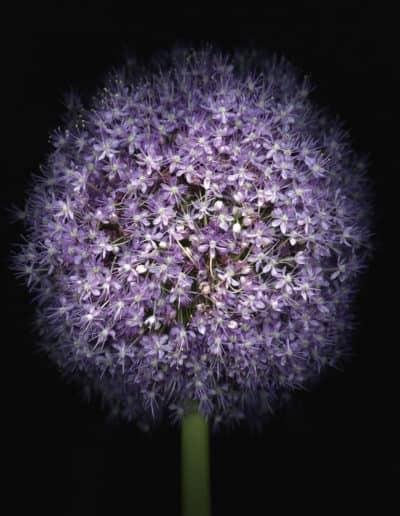 Blumenportrait Liane