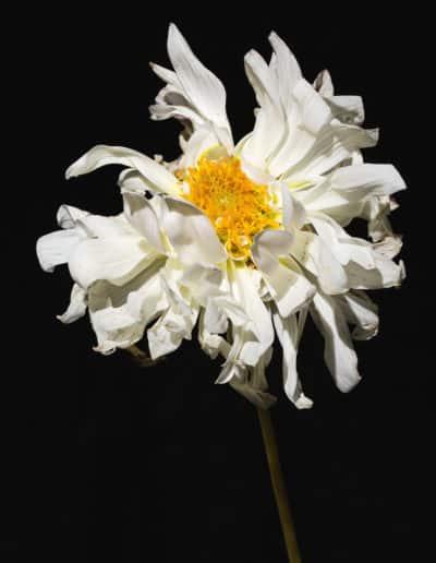 Blumenportrait Hildegard